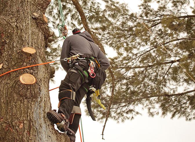 Yard Sharks, LLC employee trimming a tree