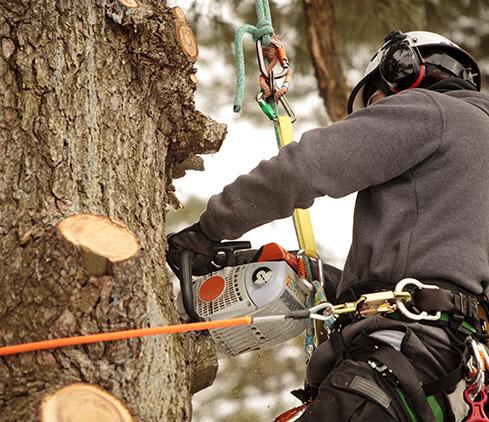 Yard Sharks, LLC employee cutting a tree down